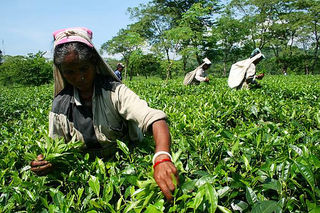 Picking tea in north bengal (Chulsa)