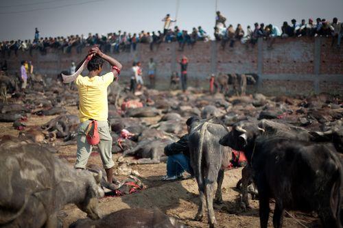 Gadhimai mass sacrifice nepal